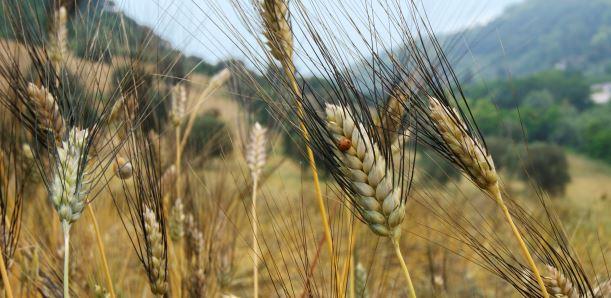 La battaglia per il grano Cappelli fa discutere: il Consorzio di Sanluri rivendica l'esclusività del prodotto e invita la Regione ad intervenire